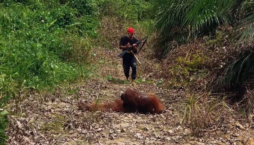 Konflik Manusia dengan Orang Utan di Sumut-Aceh Tinggi