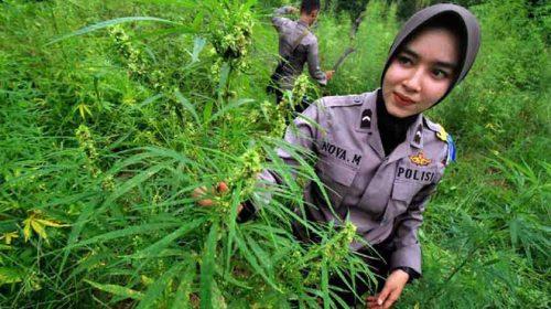 Tujuh Hektar Ladang Ganja di Aceh Ditemukan, Siapa Punya?