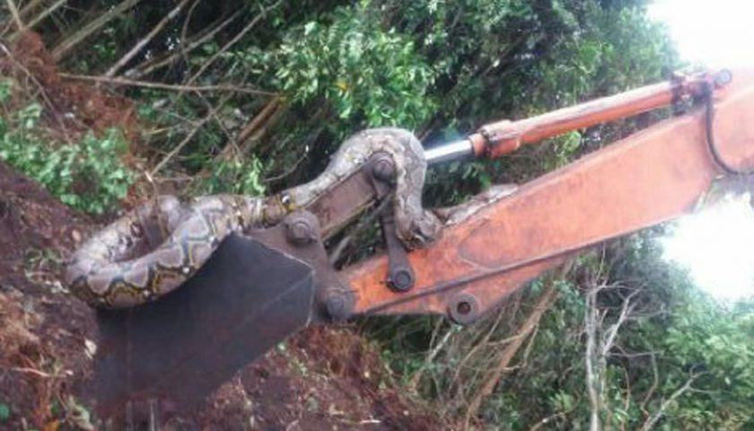 Ngeri…!!! Tak Cuma Bonita Harimau Sumatera, Ular Sebesar Pohon Kelapa Muncul di Riau
