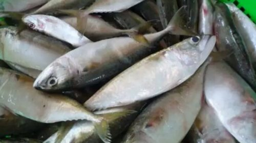 Kandungan Gizi Ikan Kembung yang Mengejutkan