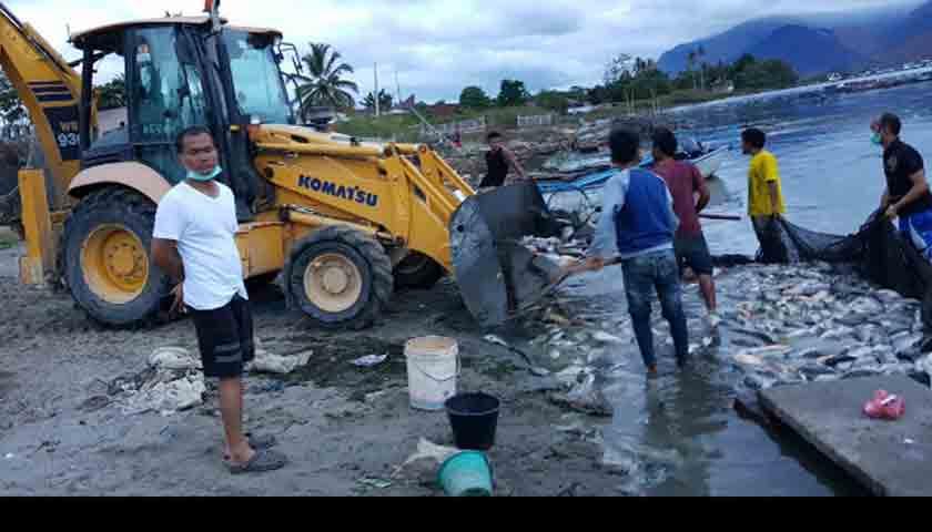 Danau Toba Tercemar Lagi, 120 Ton Ikan Mati Mendadak di Samosir