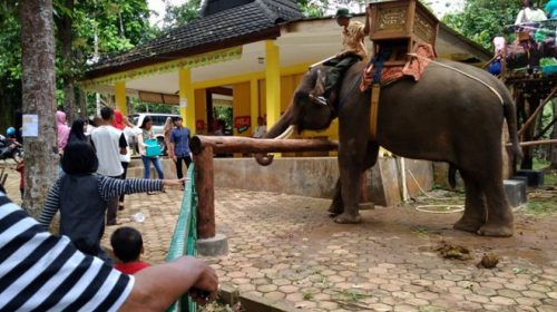 Ternyata Gajah Sangat Tersiksa Saat Ditunggangi