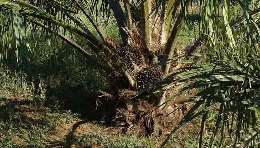Realisasi Peremajaan Perkebunan Sawit di Langkat 213 Hektar