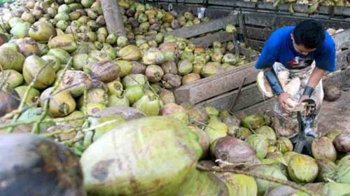 Ekspor Kelapa Indonesia Maju Pesat, Tembus Sejumlah Pasar Asing