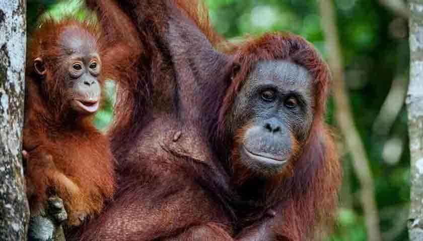 Bayi Orangutan Mati, Ditemukan Tinggal Tulang di Tanah Karo