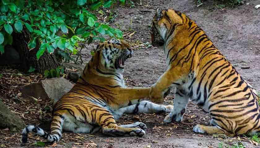 3 Harimau Sumatera Terlihat di Kebun Karet, Warga Berlarian