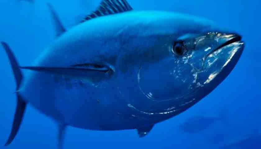harga ikan tuna1