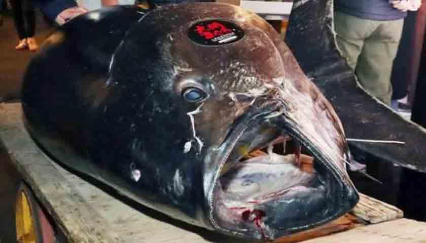harga ikan tuna5