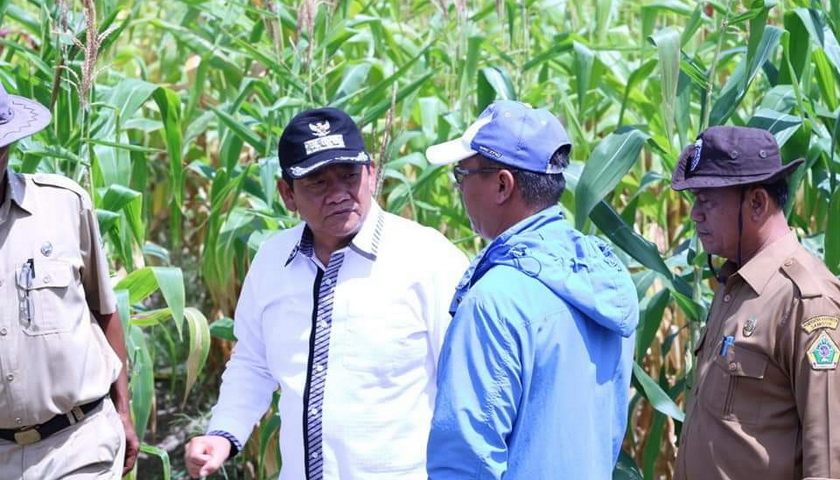 Bupati Samosir Tinjau Pertanian Jagung Milik PT Sumatera Harapan Niaga