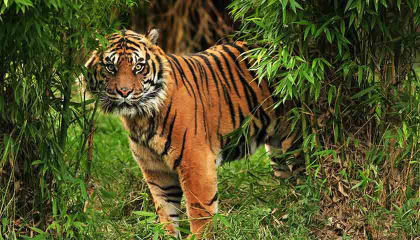 harimau masuk kampung