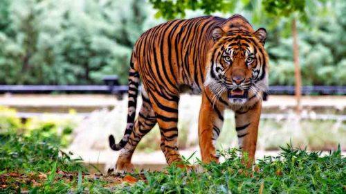Warga Sumut Tewas Dimangsa Harimau, Lehernya Terputus