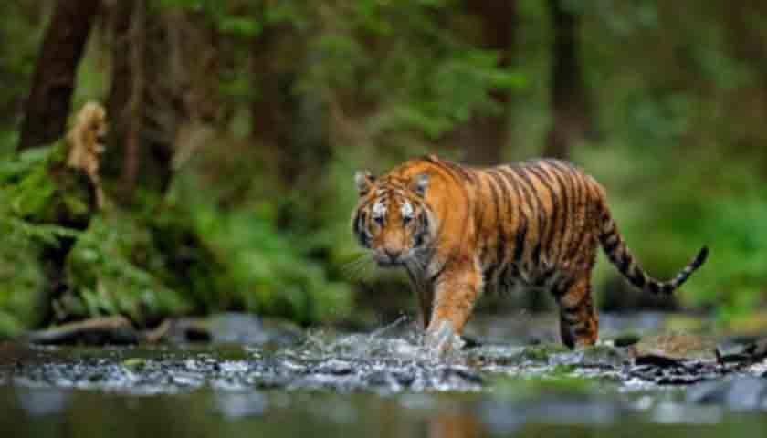 Viral..!!! Harimau Muncul di Karo, Diduga 'Nyeberang' dari Dairi, Nih Kata Petugas