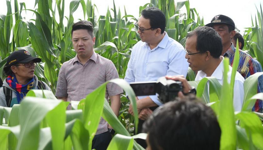 Dorong Petani Jagung, Ahok Blusukan ke Ladang di Humbanghas.