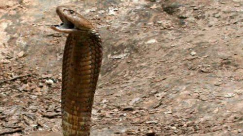 BERITA DUKA..!!! Remaja Yatim Piatu Ini Tewas Dipatuk King Kobra