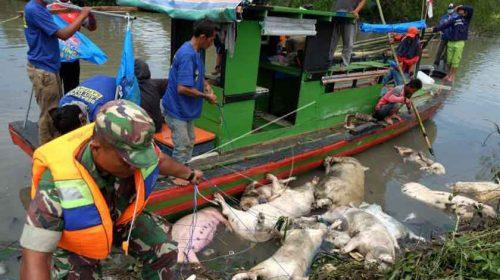 Ratusan Bangkai Babi di Danau Siombak Dan Sungai Bedera Dikuburkan