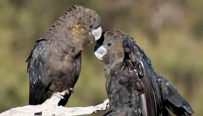 Hewan-hewan Khas Australia Terancam Punah Akibat Kebakaran