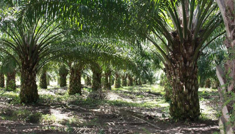 Pemprov Sumut Komitmen Wujudkan Pembangunan Perkebunan Sawit Berkelanjutan