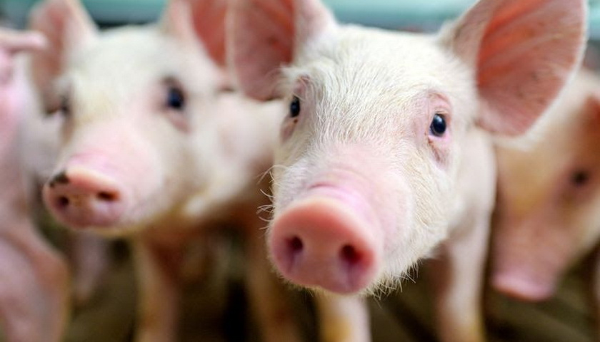 Sumut Diserang ASF, Nias Dipilih Jadi Tempat Pembibitan Babi