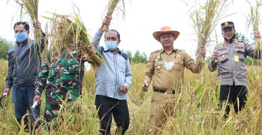 Bupati Taput Panen Perdana Padi Gogo di Sosor Napa Sabungan Ni Huta IV Sipahutar
