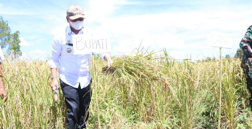 Bupati Taput Panen Perdana Padi Gogo Seluas 5 Ha di Dusun II Sihatandohan Siborongborong