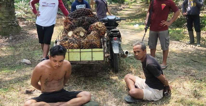 Polres Langkat Diduga Tangkap-Lepas 2 Pencuri Sawit PTPN II Kebun Tanjung Jati